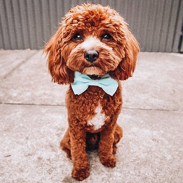 As if this is a real doggo 😩🙊😍 How adorable does @leo.toycavoodle look in his Organic Cotton bow tie! 💙 He's wearing the colour 'Hydrangea' - a universe colour that stands out so well on all coats and colours! ✨ #soloncofamily
