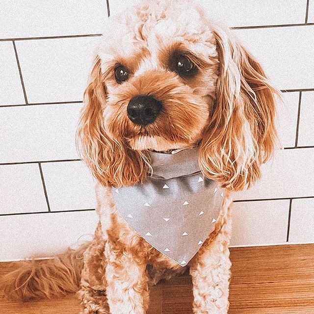 It's a good day when you have a cutie like @cavoodlemurphy blessing your feed 😍🌟 You're welcome 😉 Got an extra small doggo like Murph and find our bandanas a teeny bit too long? Pull them through and fold them over to reduce length and for an extra dapper look! 🎀 #soloncofamily