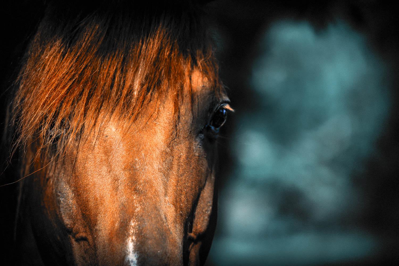 """Majestic polo champion """"Ellerston Hermitage"""", now breeding future polo stars"""