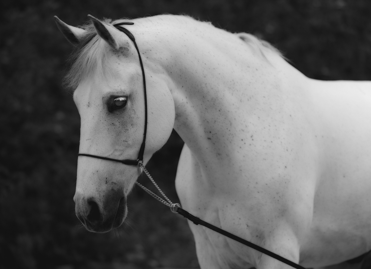 One of many stud portraits I took. Amazing to have such a range of breeds and stunning horses to shoot.