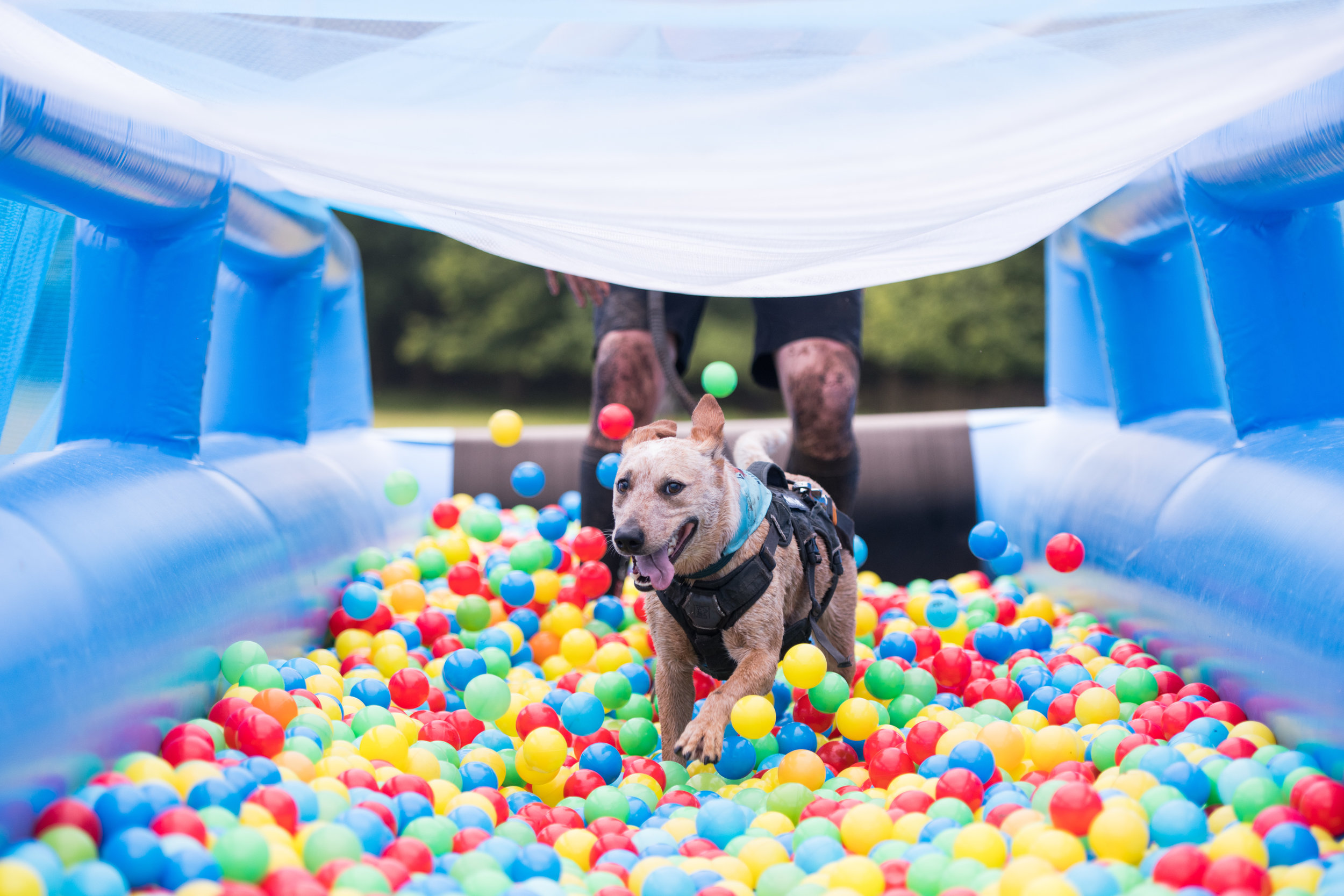 DB-20180609-0125-2446 Nottingham happy dog running through ball pit.jpg