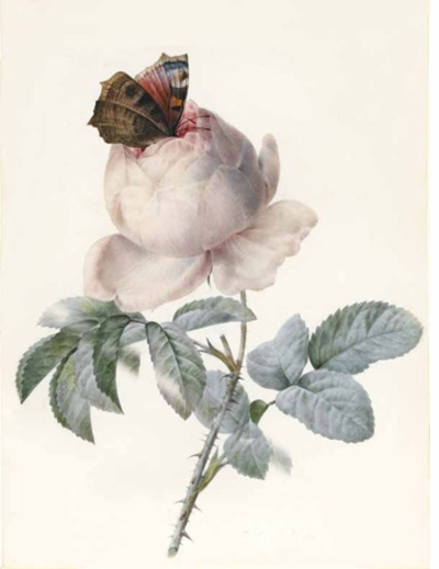Centifolia Rose with Peacock Butterfly by Pierre-Joseph Redouté
