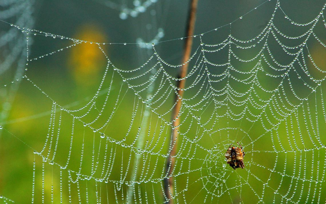 Dew covers a star-bellied spider (acanthepeira stellata) and its web. Photo by Larry Weber.jpeg