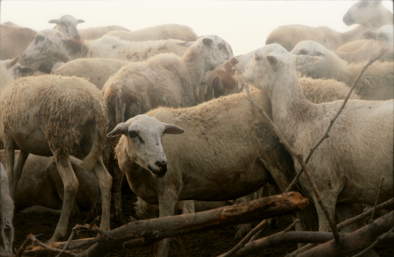 Les Moutons 2.jpg