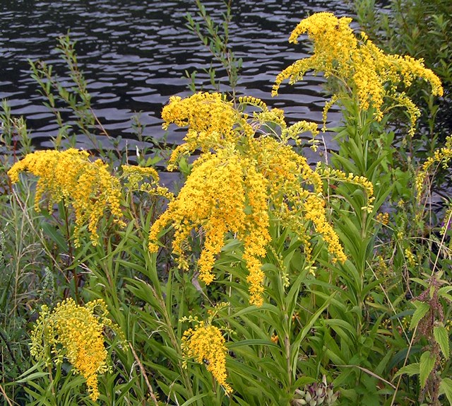 Sweet Goldenrod