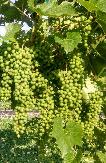vineyardgrapes.jpg