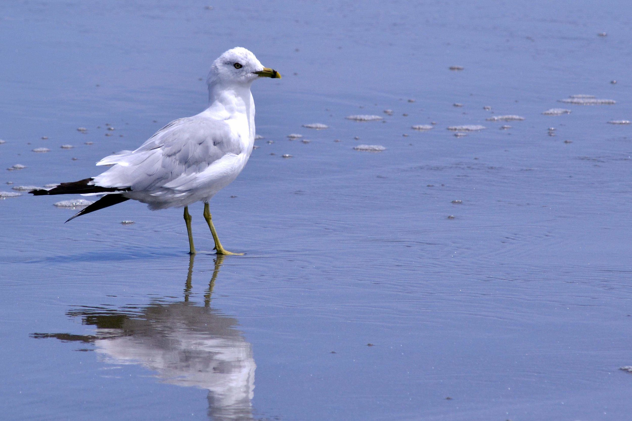 A ring-billed gull explores Seawall Beach in Phippsburg
