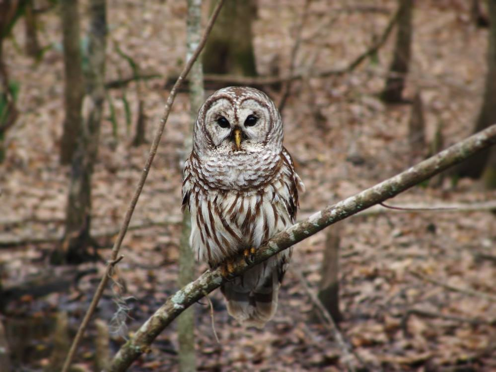 """Can you ID this owl? The call sounds like """"Who cooks for you? Who cooks for you all?"""""""