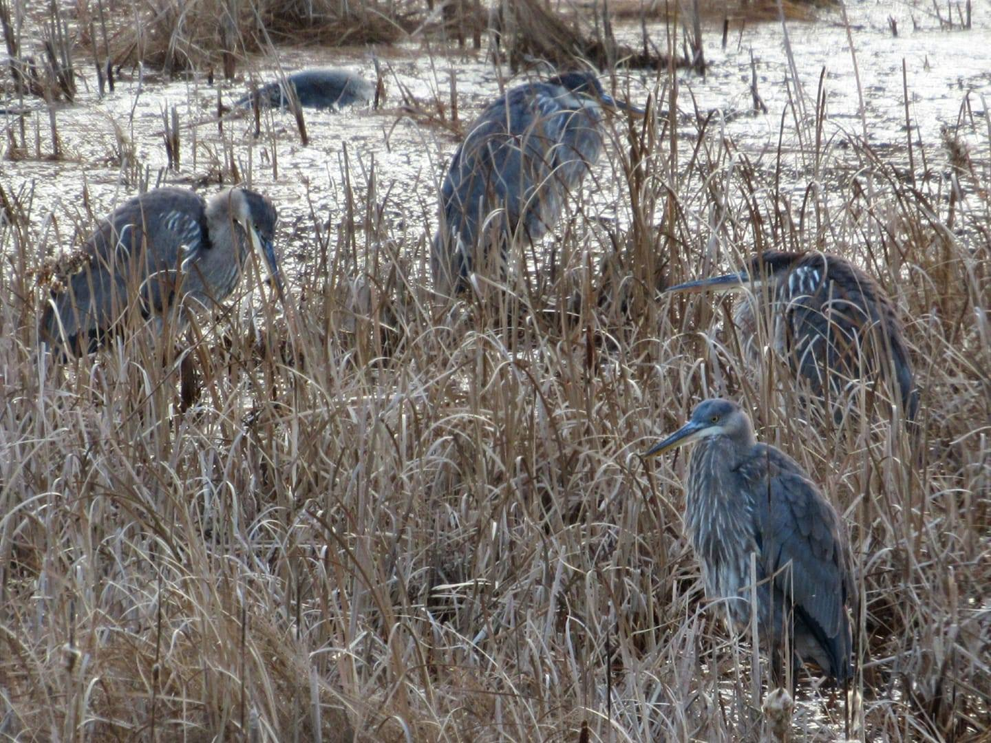From Danielle D'Auria's MDIFW blog:  These four juvenile Great Blue Herons were spotted in Damariscotta on December 6th. The photographer, Stacey Keefer, said there was also a fifth with this bunch.