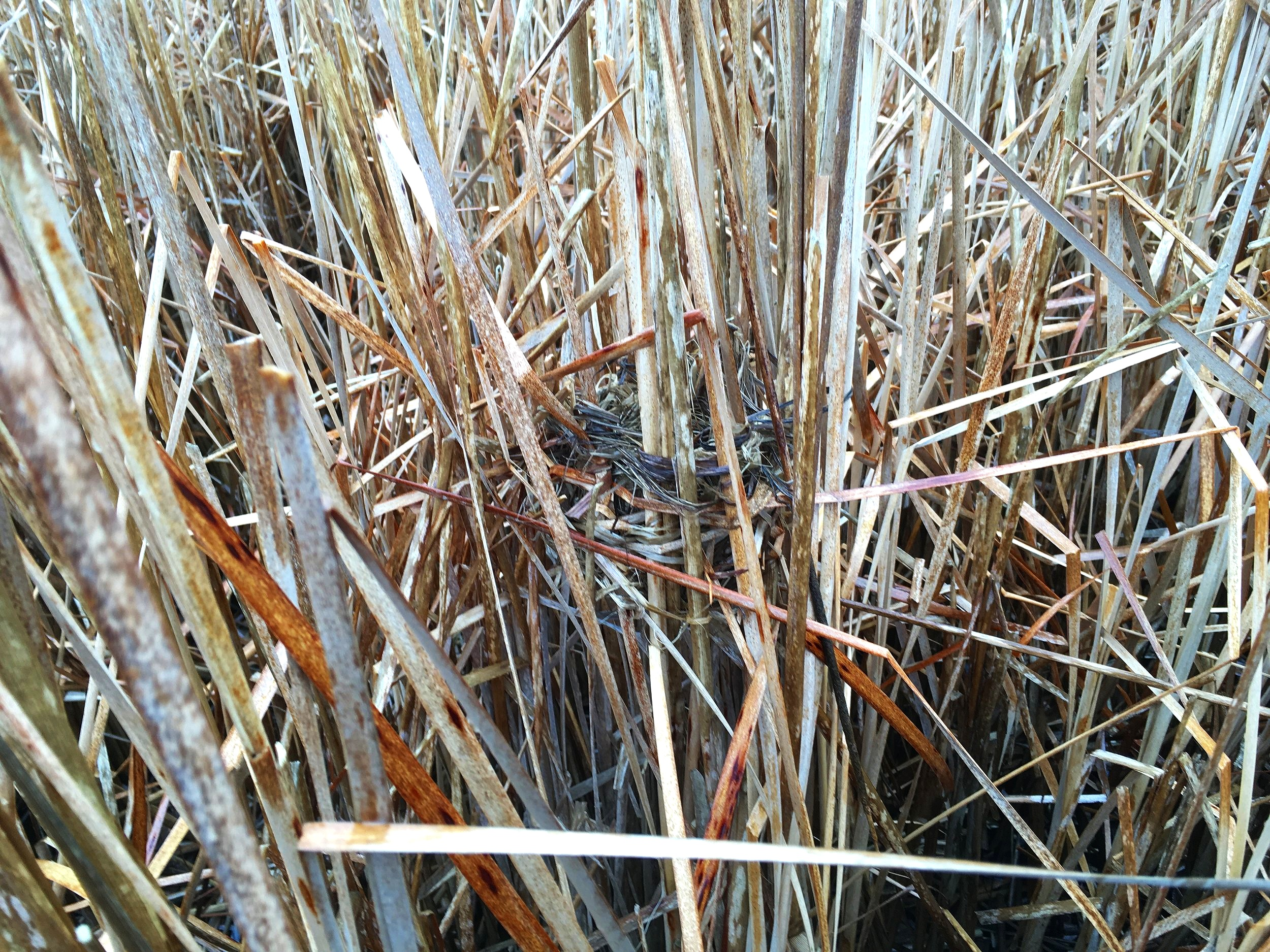 A nest rests in the cattail marsh.