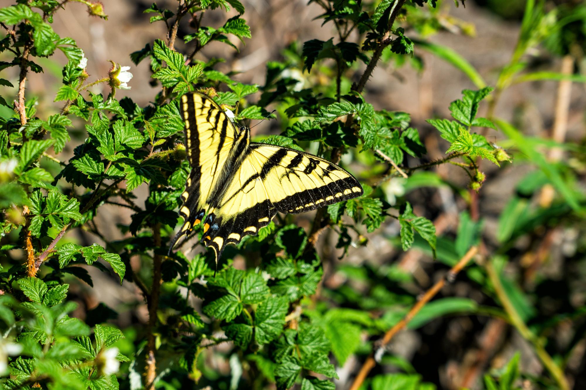 Butterfly in Bush.jpg