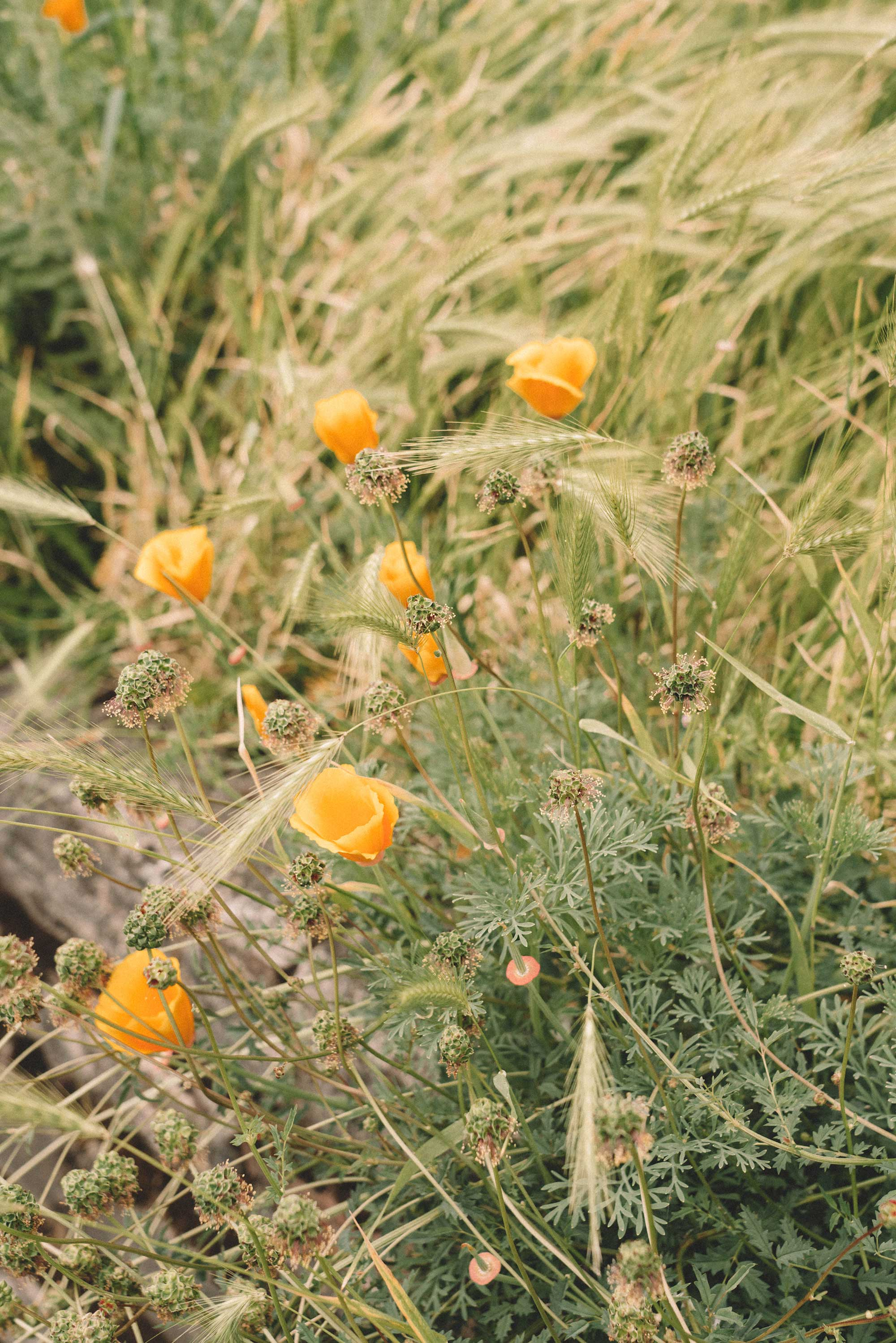 spring poppies wild flowers3.jpg