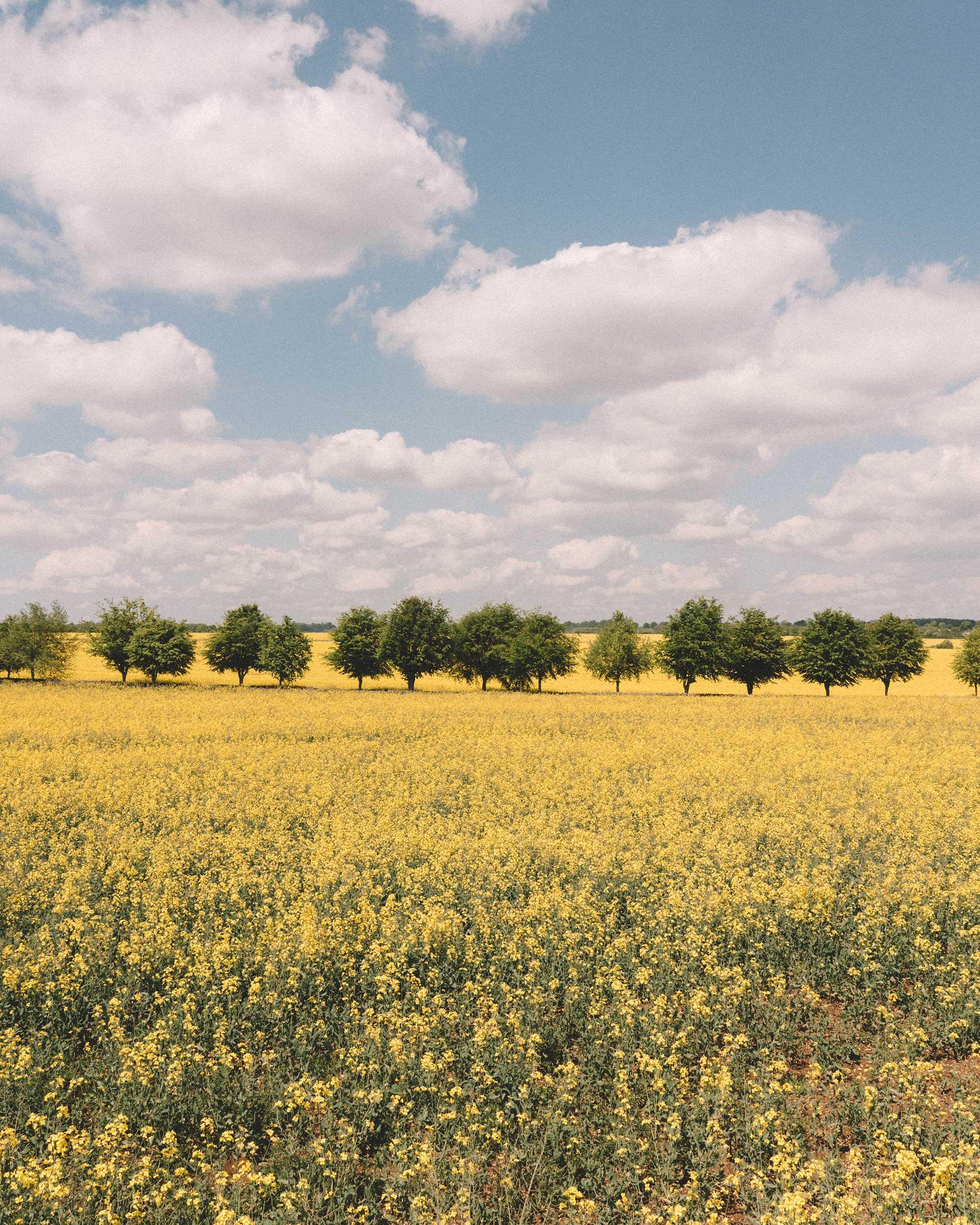 english countryside spring yellow flower feild.jpg