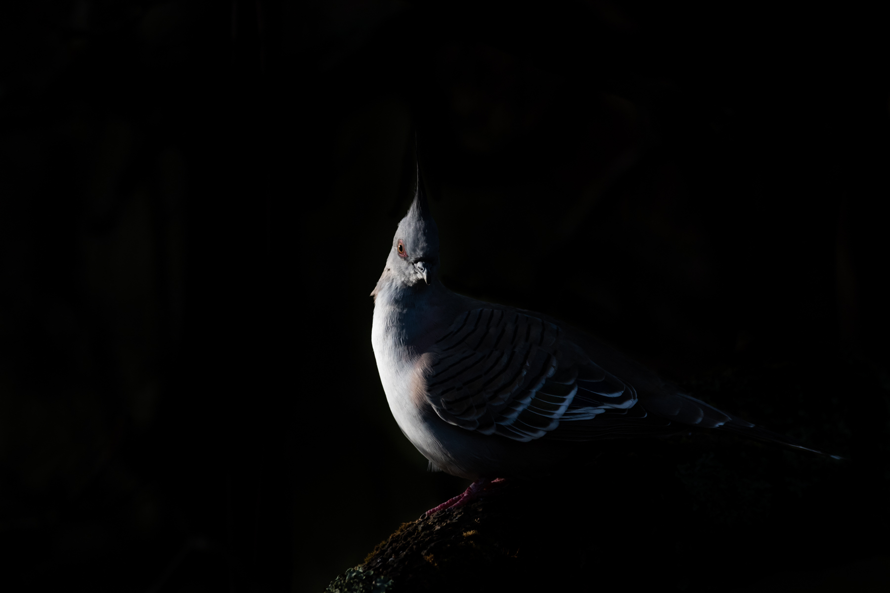 Crested Pigeon by Campbell Mole