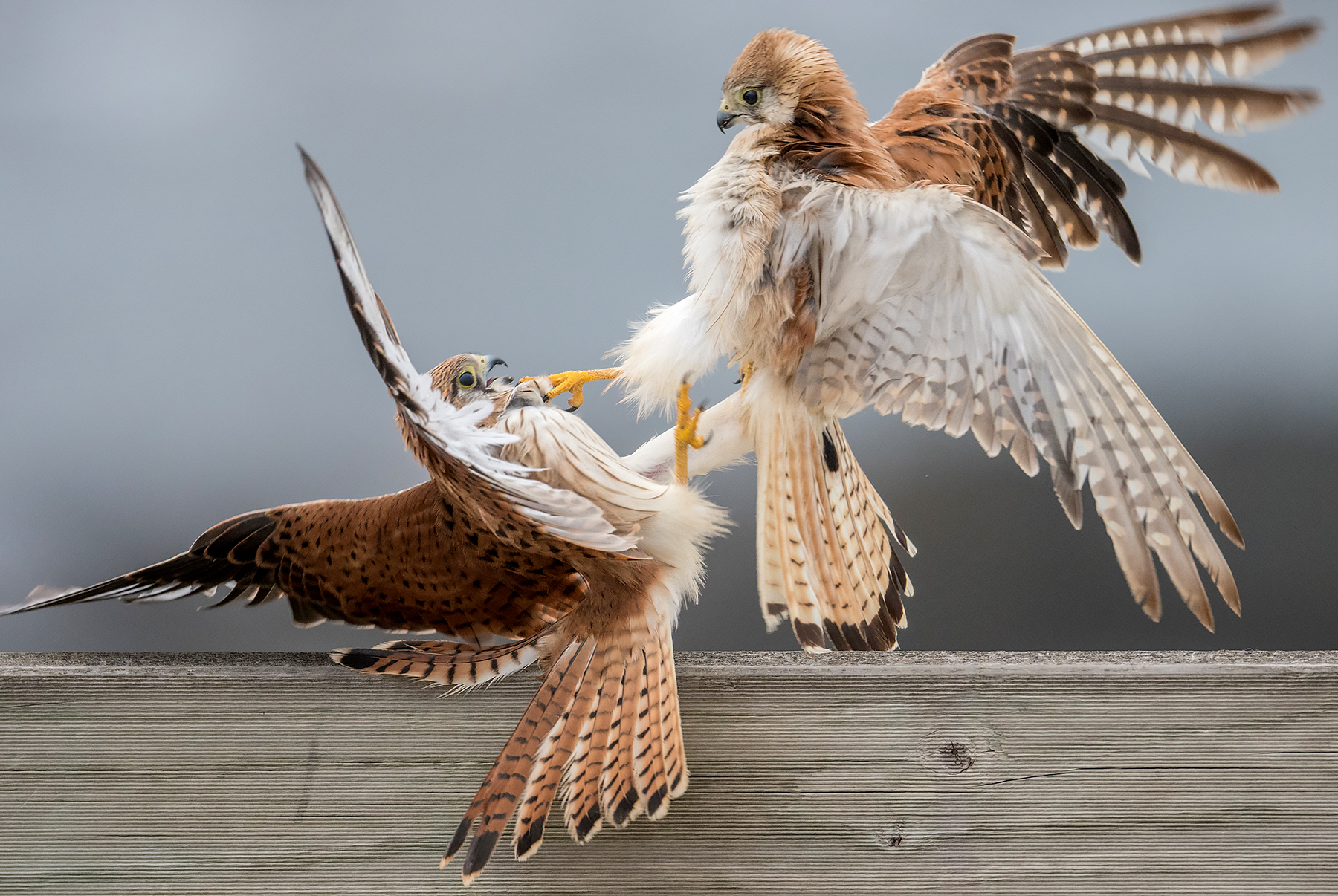 Nankeen Kestrels Fighting by David Adam