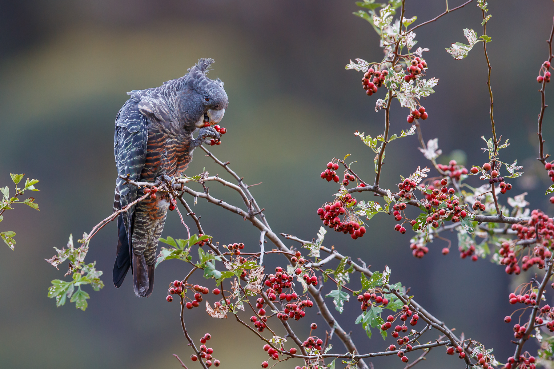 Berries for Breaky by Michael Hanvey