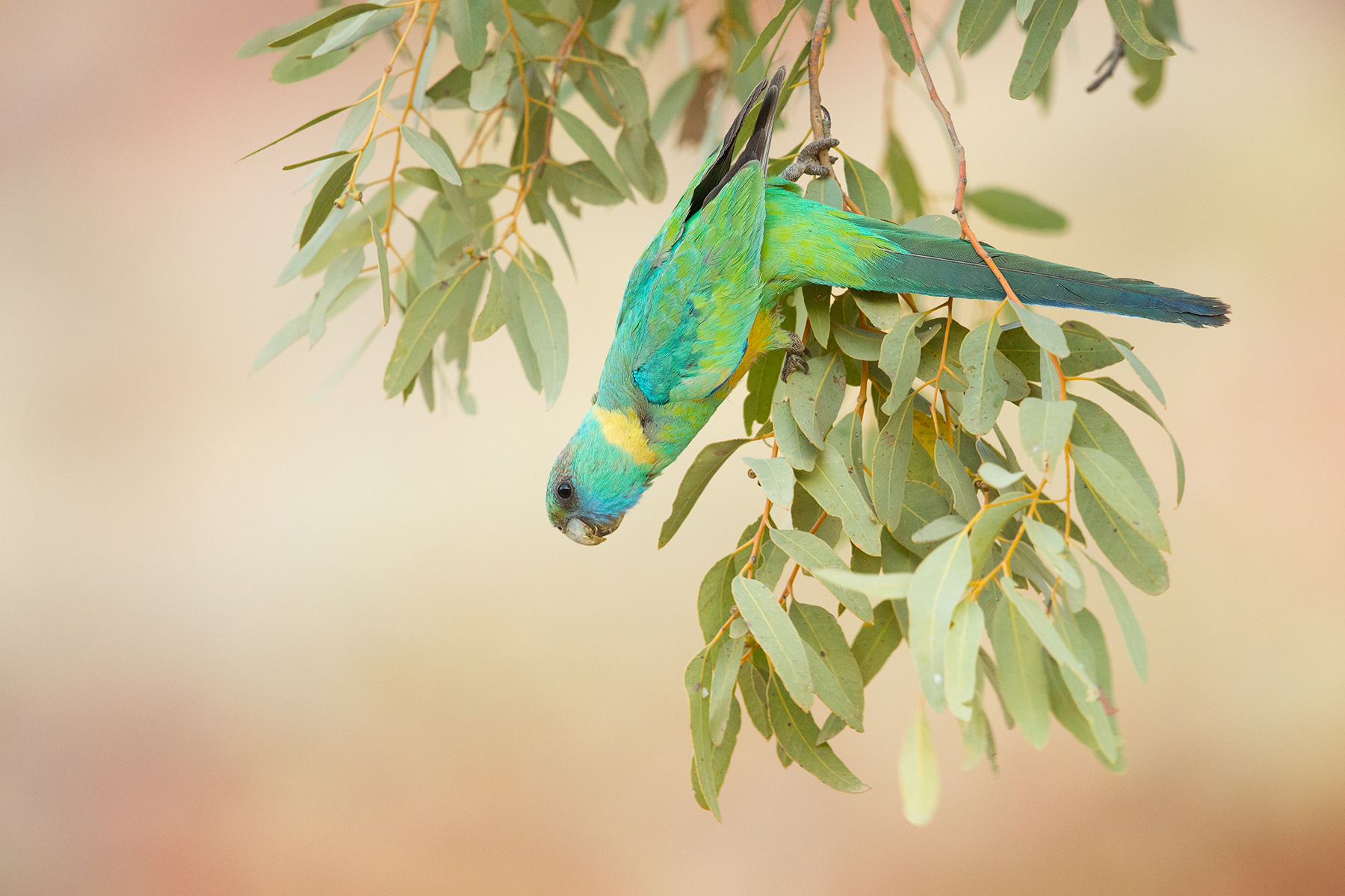 Cloncurry Ringneck by Daniel Venema
