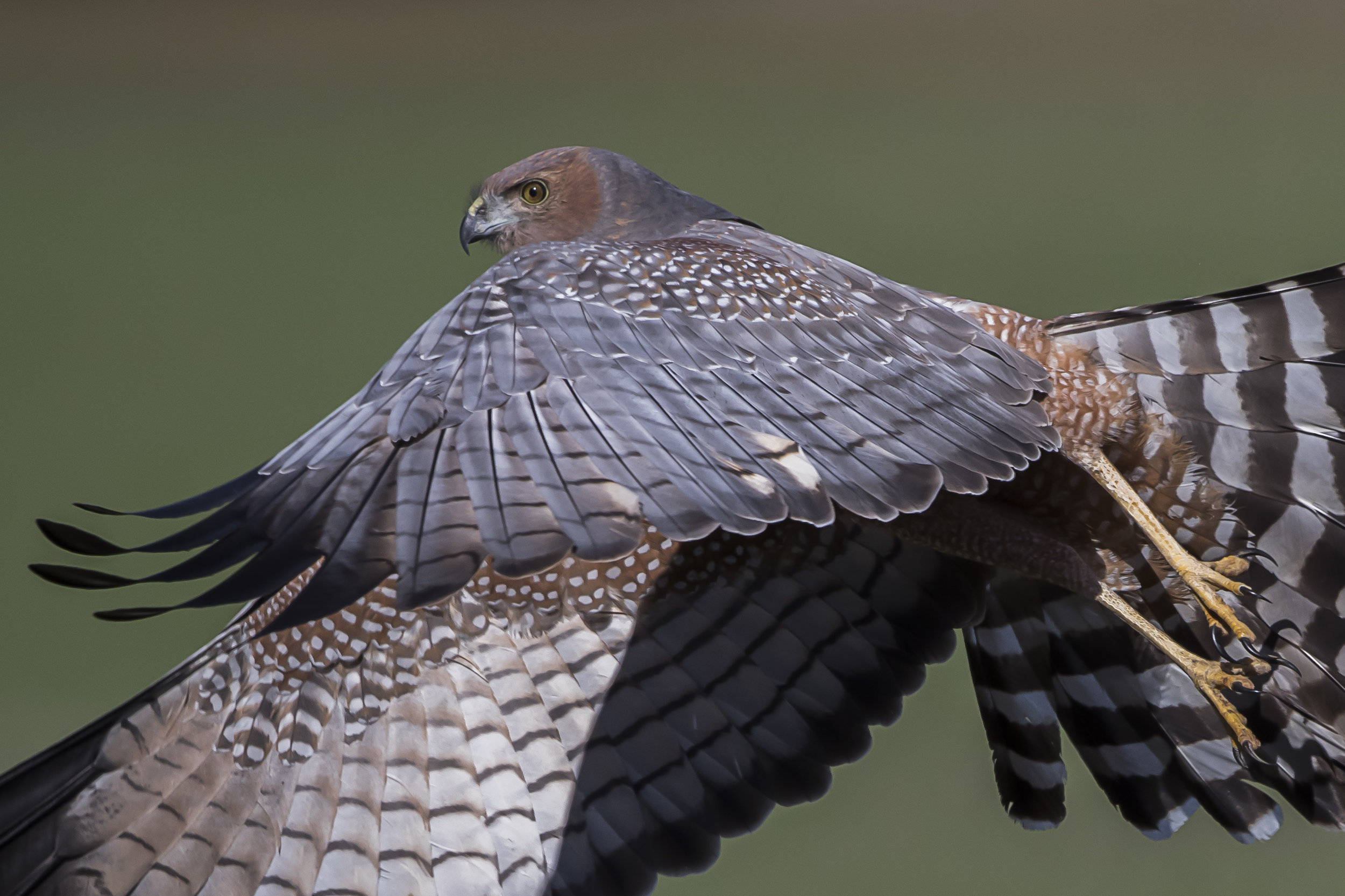 Spotted Harrier by Danny McCreadie