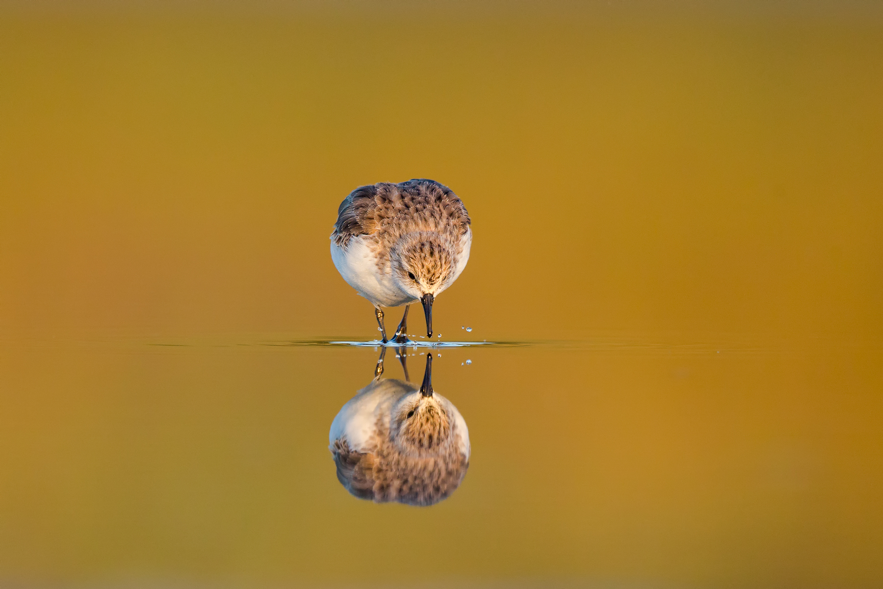 Shorebird Reflection by Duade Paton