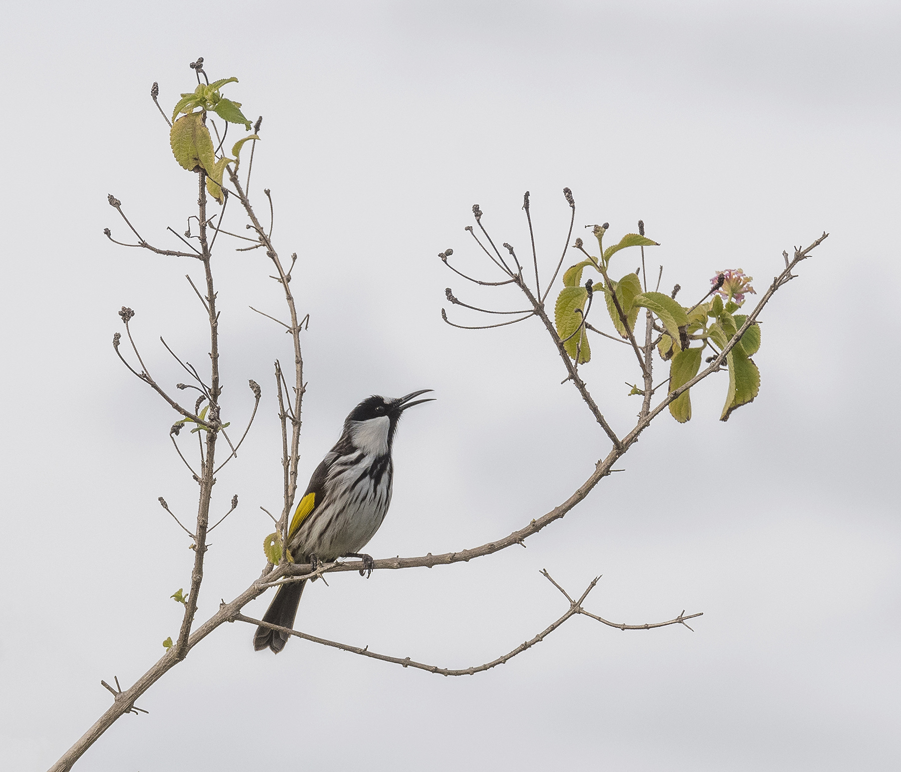 White-cheeked Honeyeater Sings by Finley Woodforth
