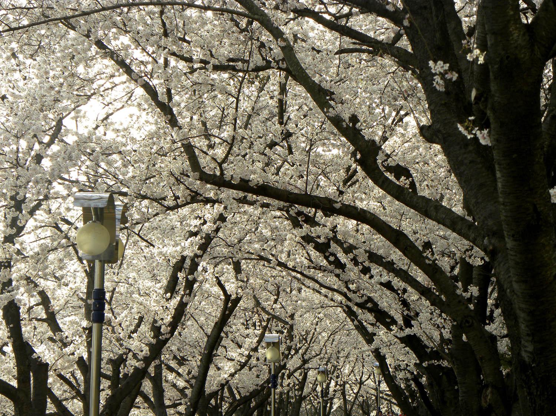 cherry-blossoms-4.jpg