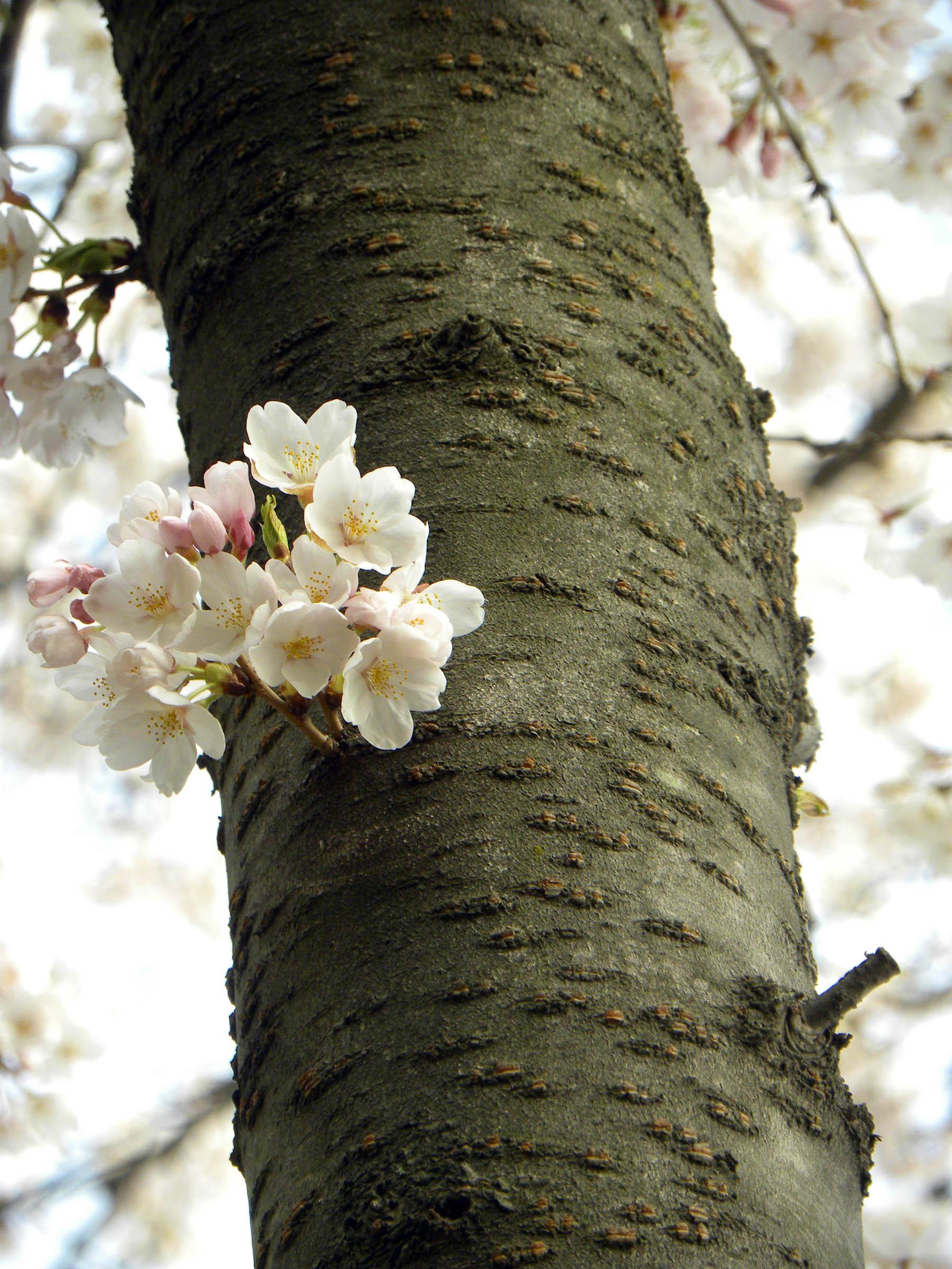 cherry-blossoms-3.jpg