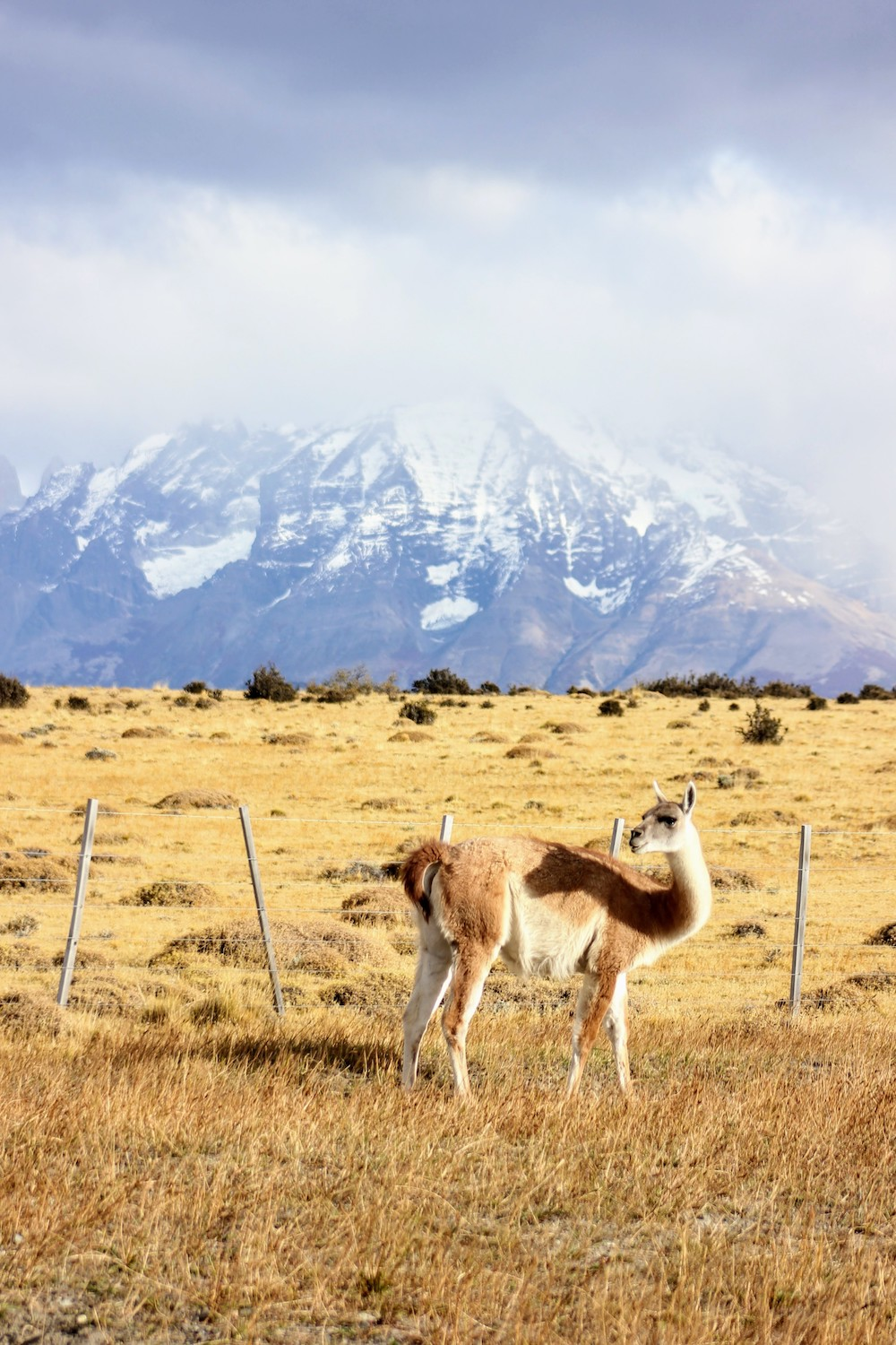 Watch out for guanacos when you rent a car in Patagonia.