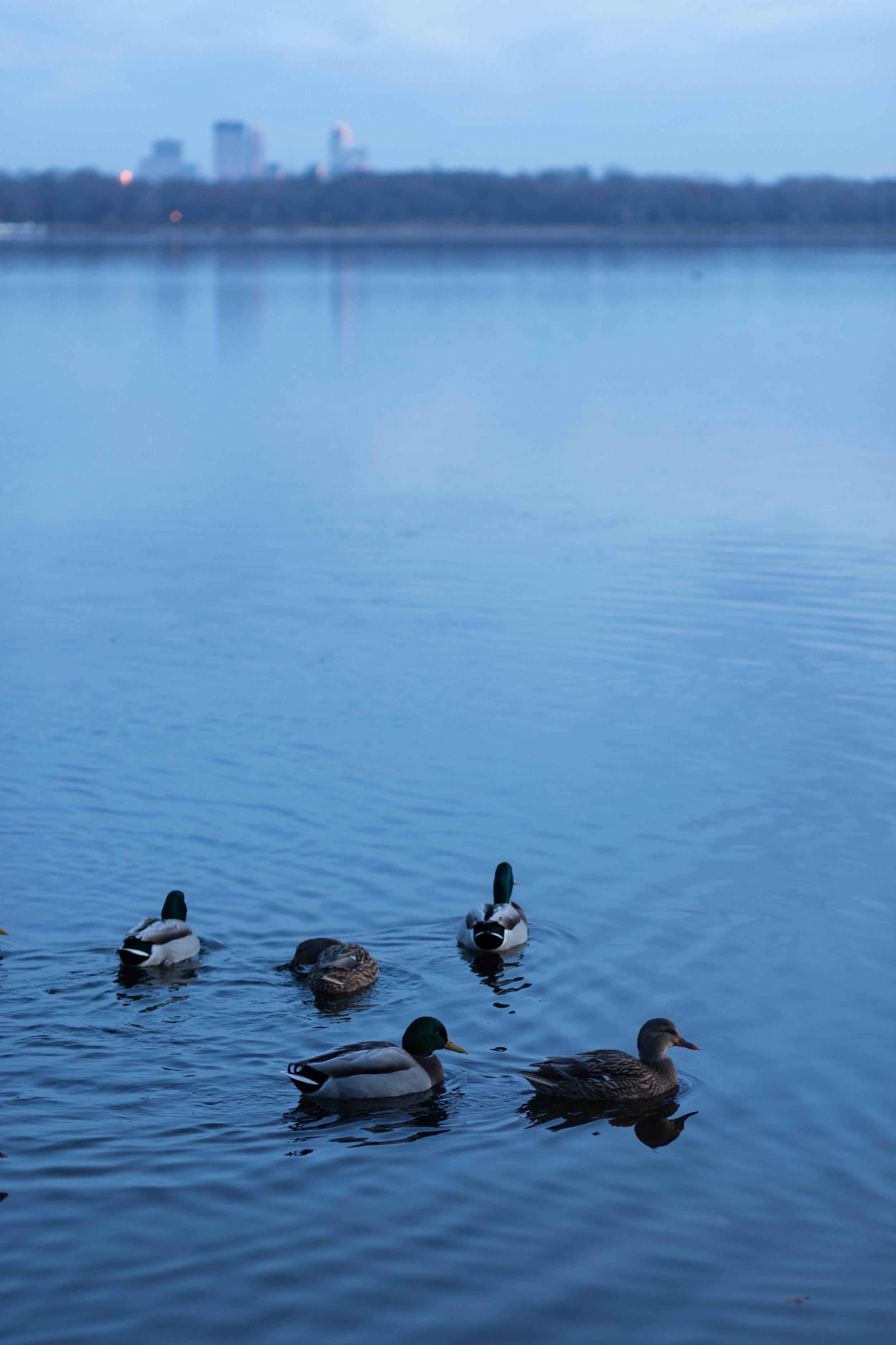 downtown ducks - minneapolis