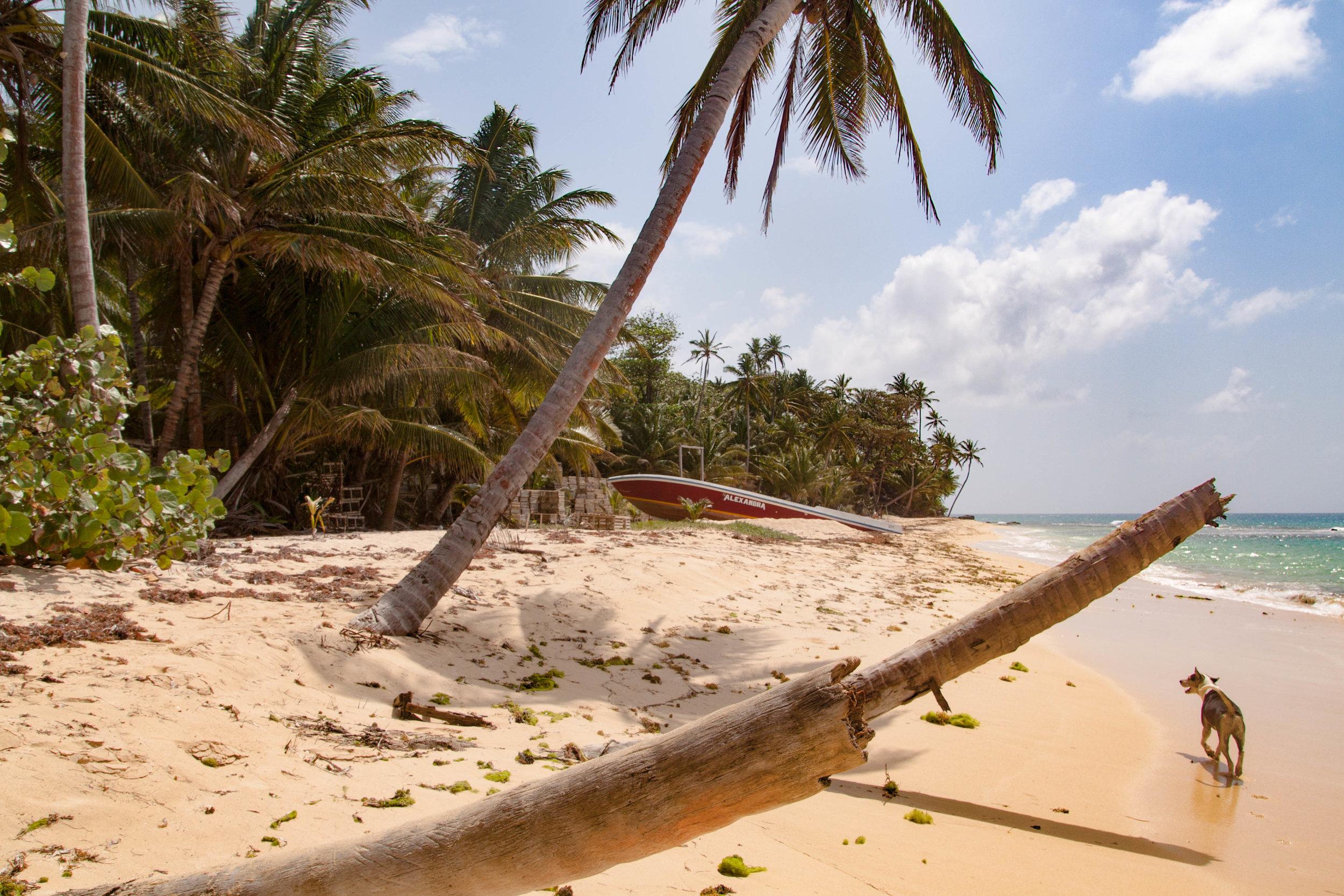 beach dog - little corn island, nicaragua