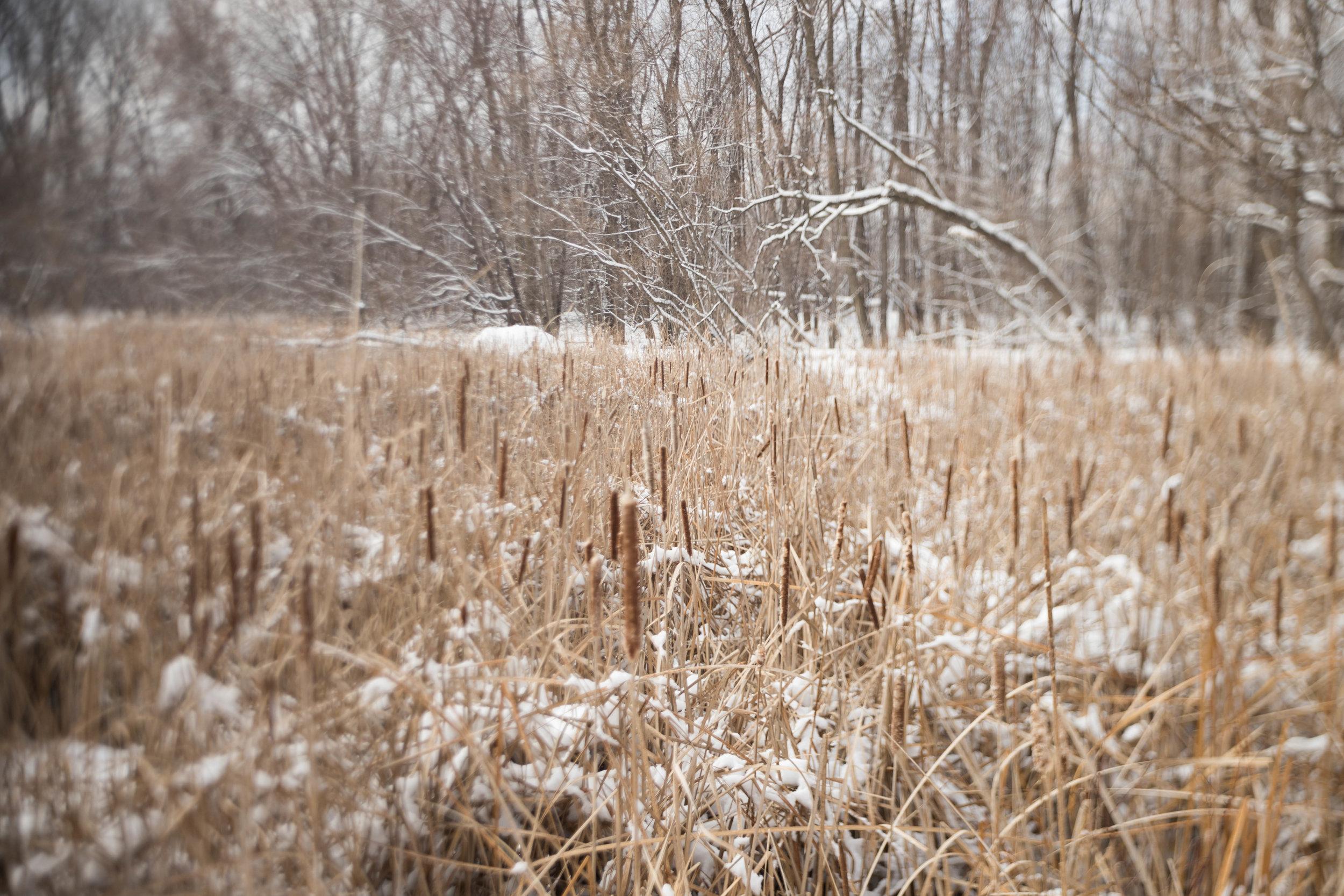 freelensed-cattails-winter-minnesota