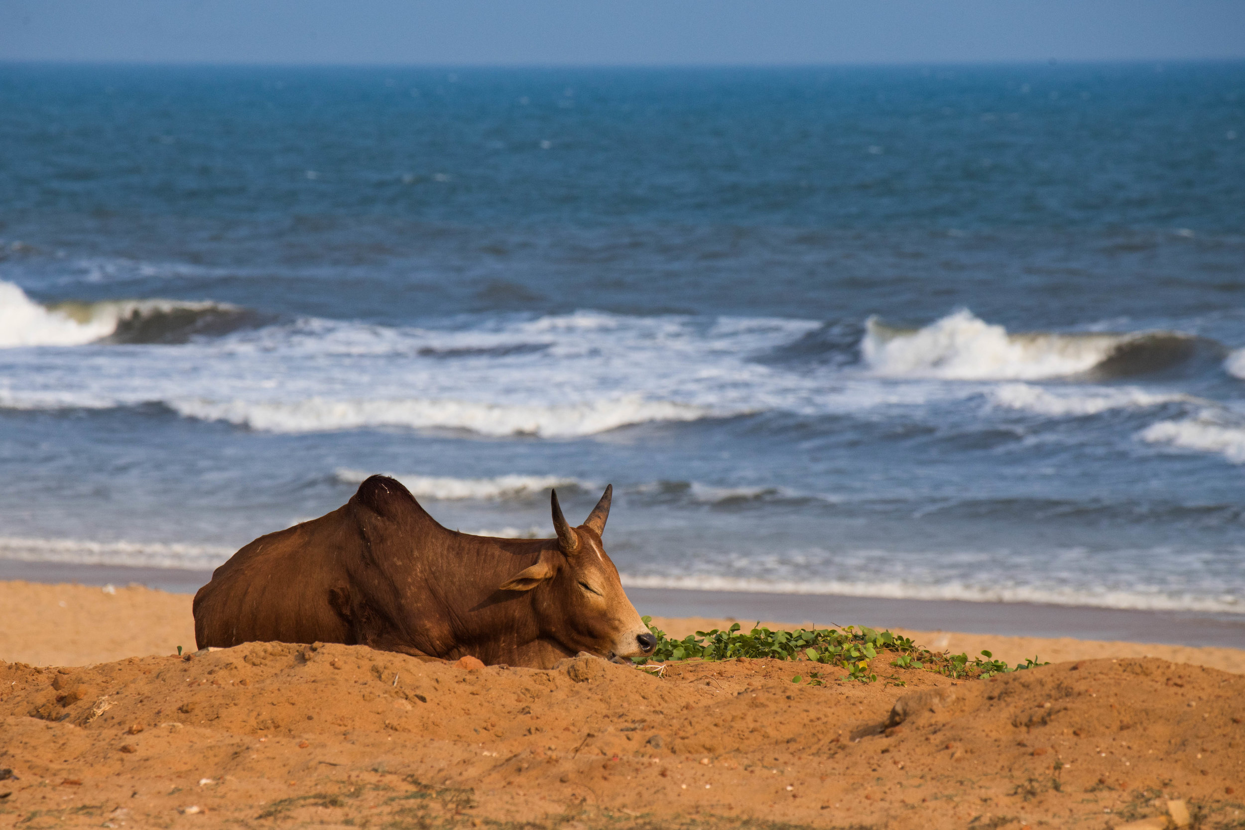 a cow's life - puri, india