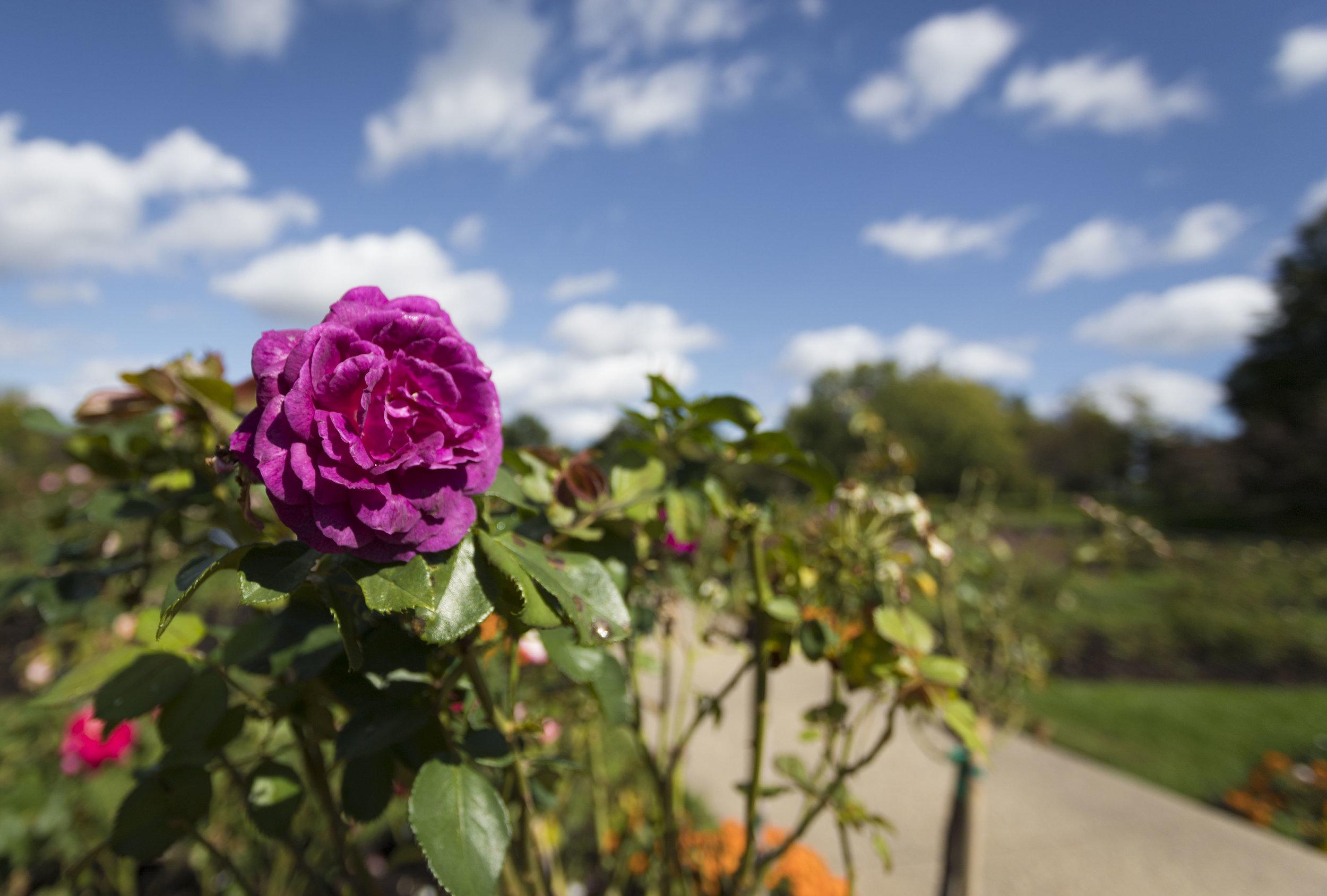september 27, 2017  lyndale park rose garden - minneapolis, minnesota
