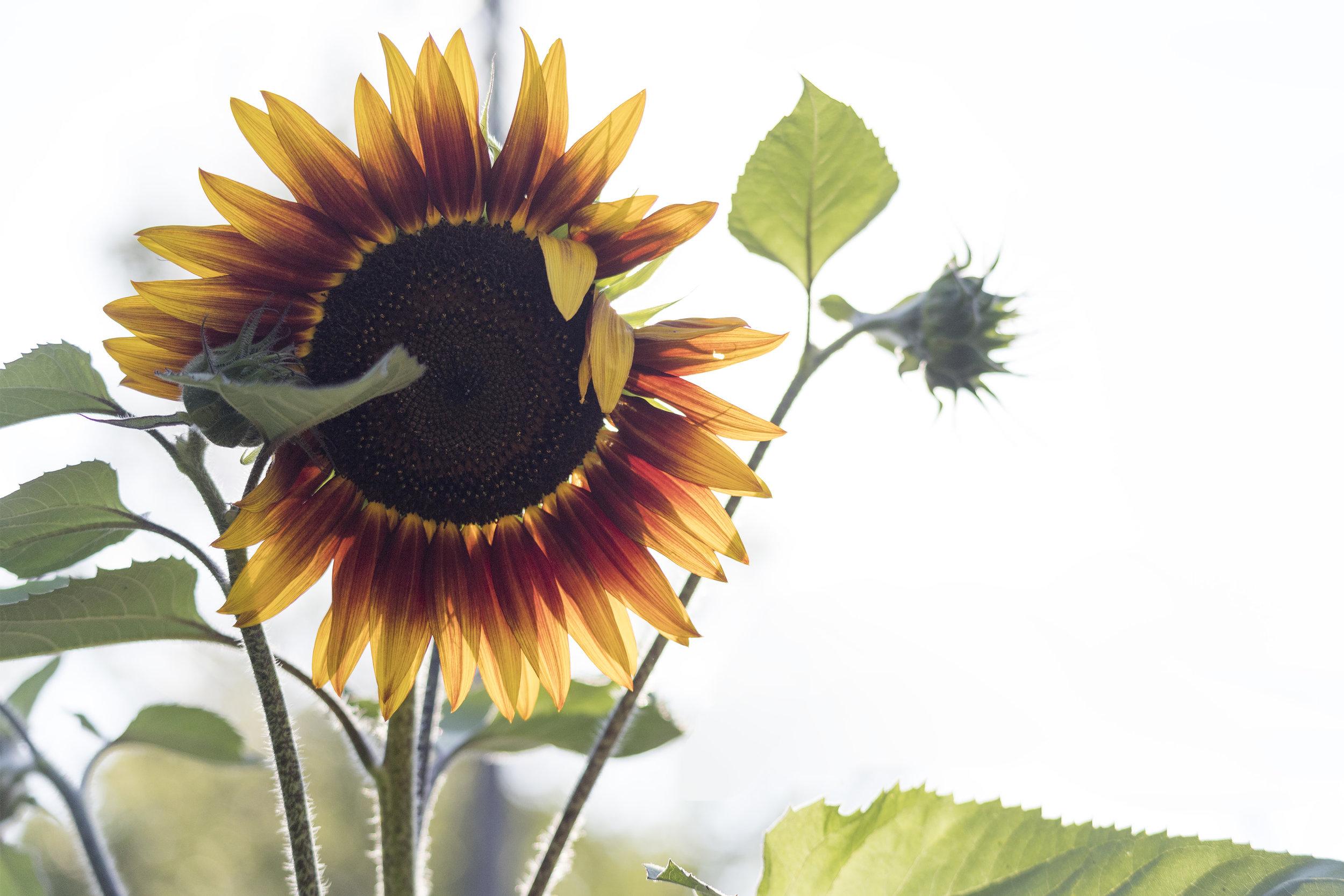 sunflower - minneapolis