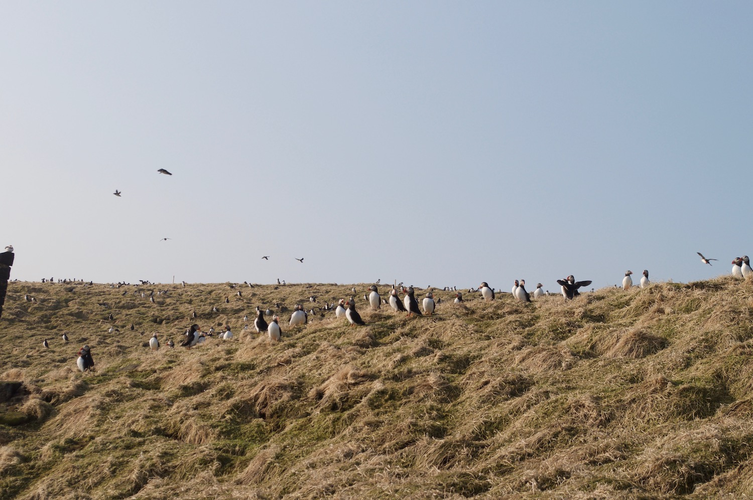 Puffins arriving on the Isle of May