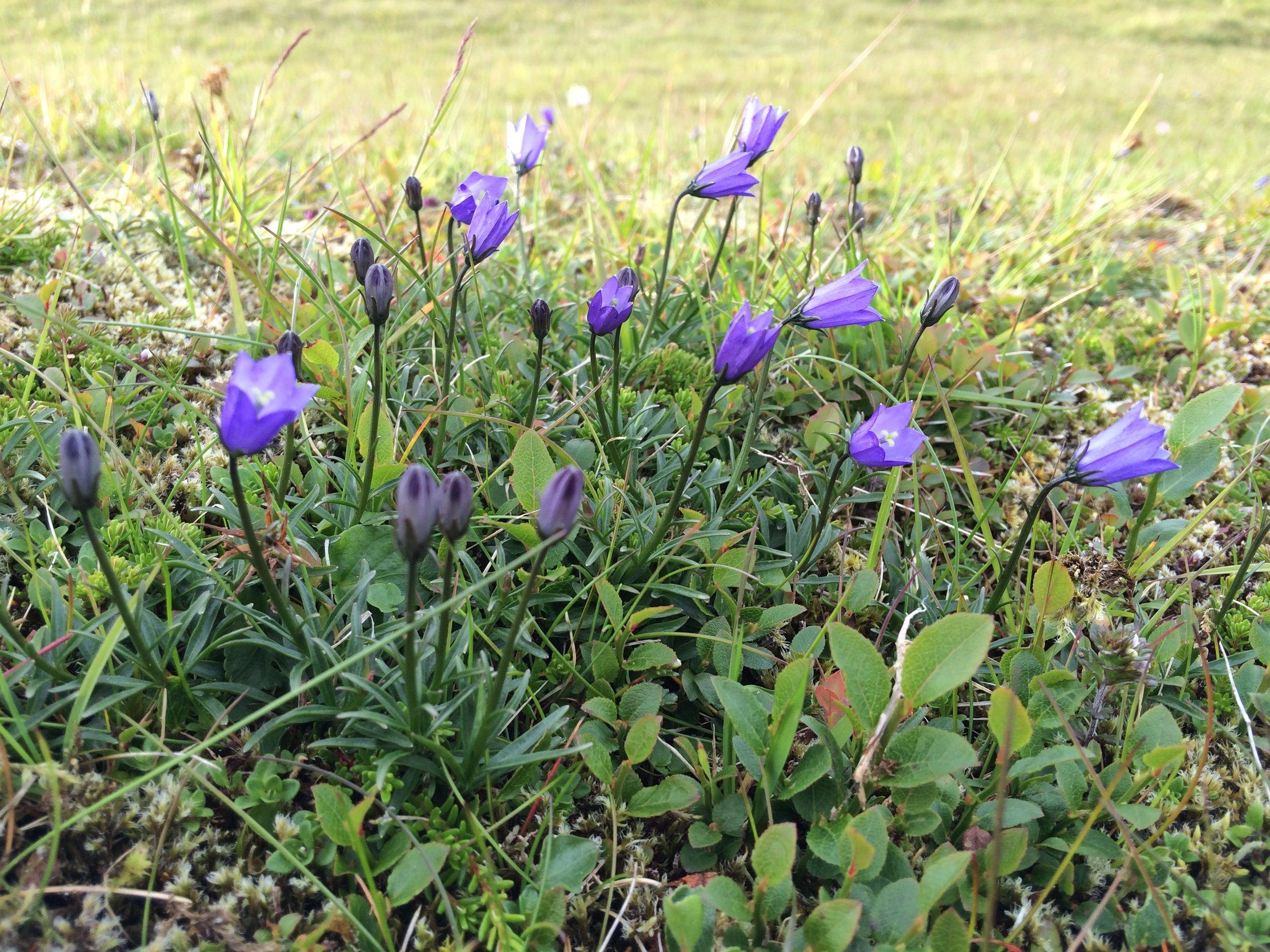 Bláklokka  Campanula rotundifolia   Mynd Dánial Jespersen