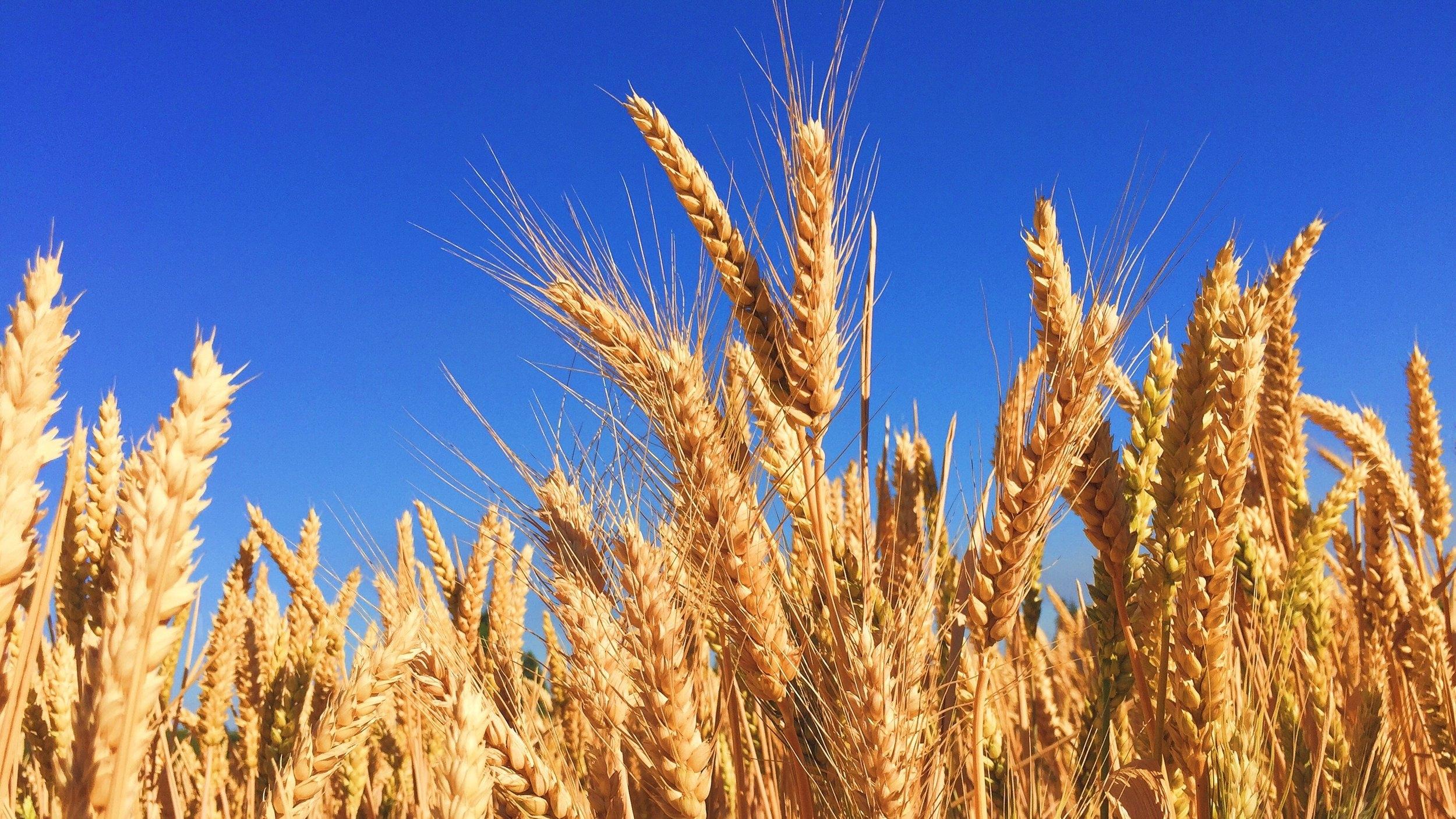 Wheat Field - Celiac Disease