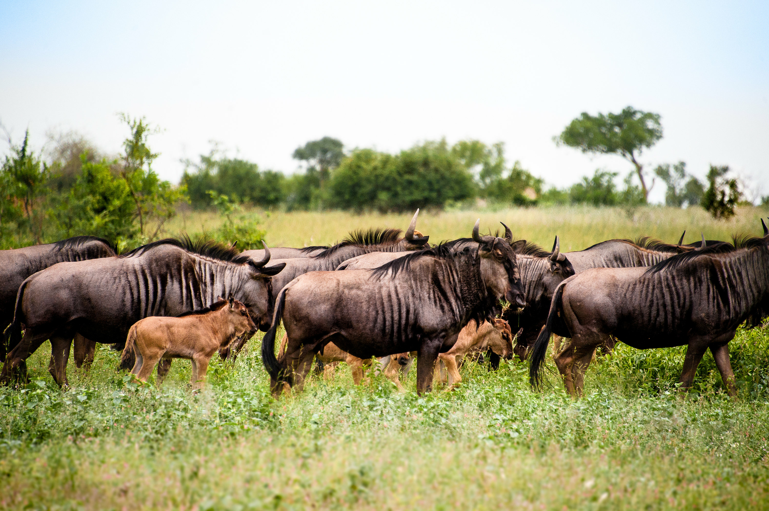 """Wildebeest Grazing"" Photographed by Ron Foster in South Africa"