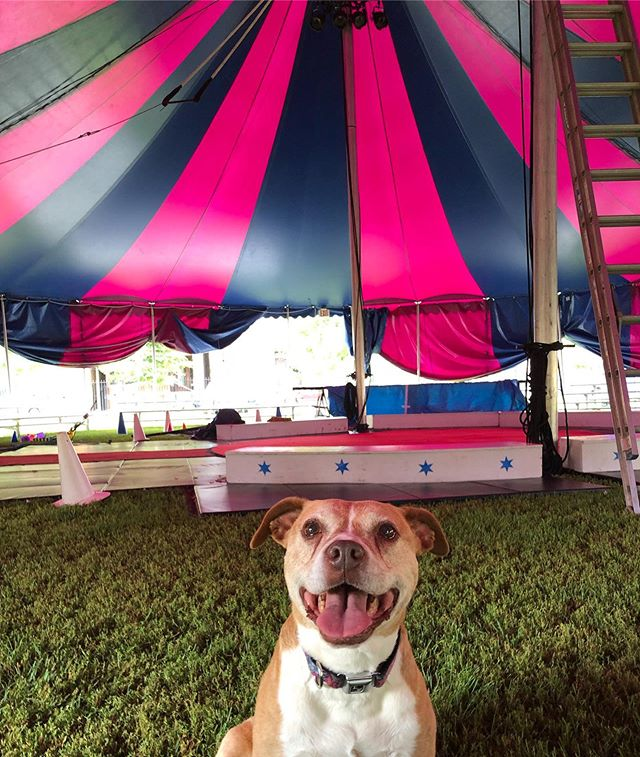 Junebug here, just gettin ready for opening night at Holstein Park @chicagoparks  tonight 7pm and shows all weekend. Ticket link in bio. See you under the Big Top! #AdoptDontShop #chicago #community #circusintheparks