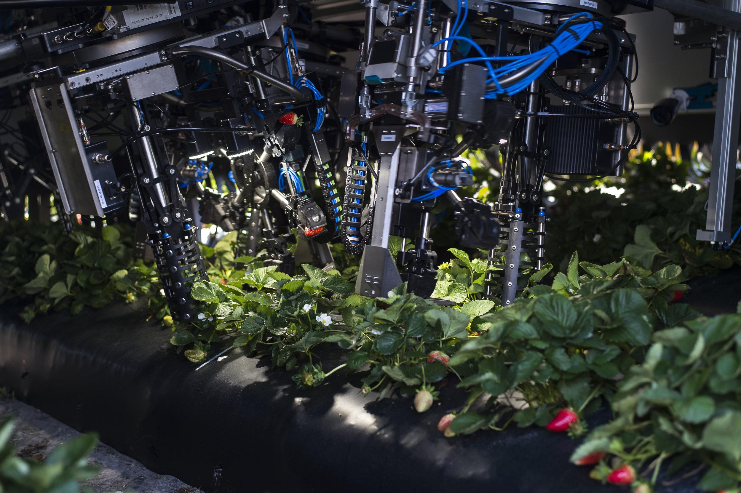 zwStrawberryRobot20.JPG