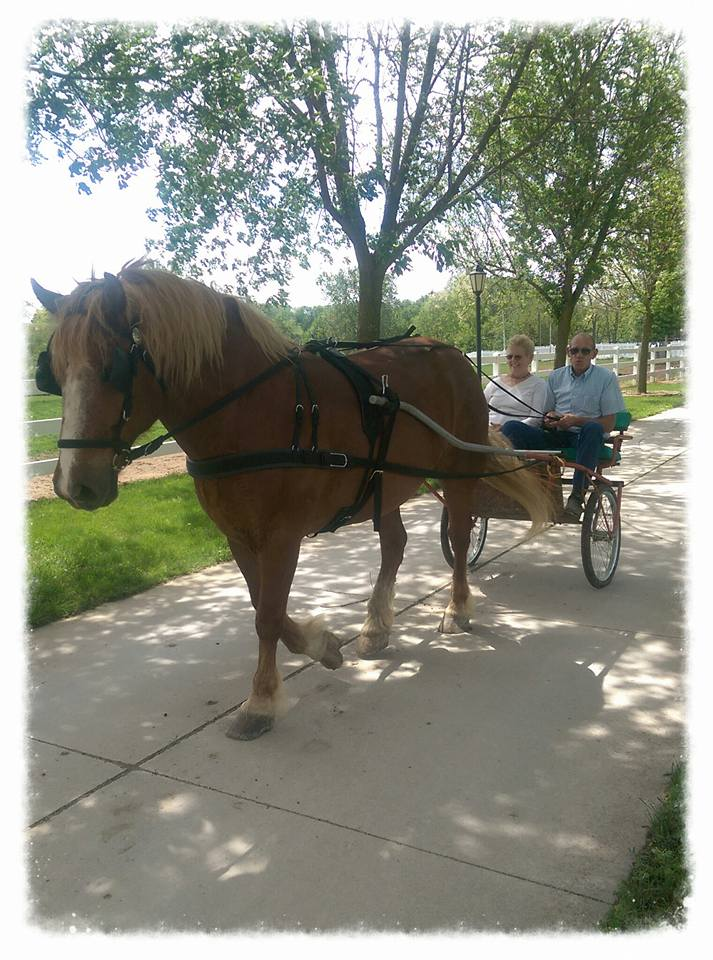 Available for Share-Boarding - If you are looking for a handsome, reliable trail horse call us about Thunder! He is a 12 year old Belgium gelding. Thunder has experience on the trails and he loves to pull his cart too! This gentle giant loves carrots and attention. He will steal your heart instantly.