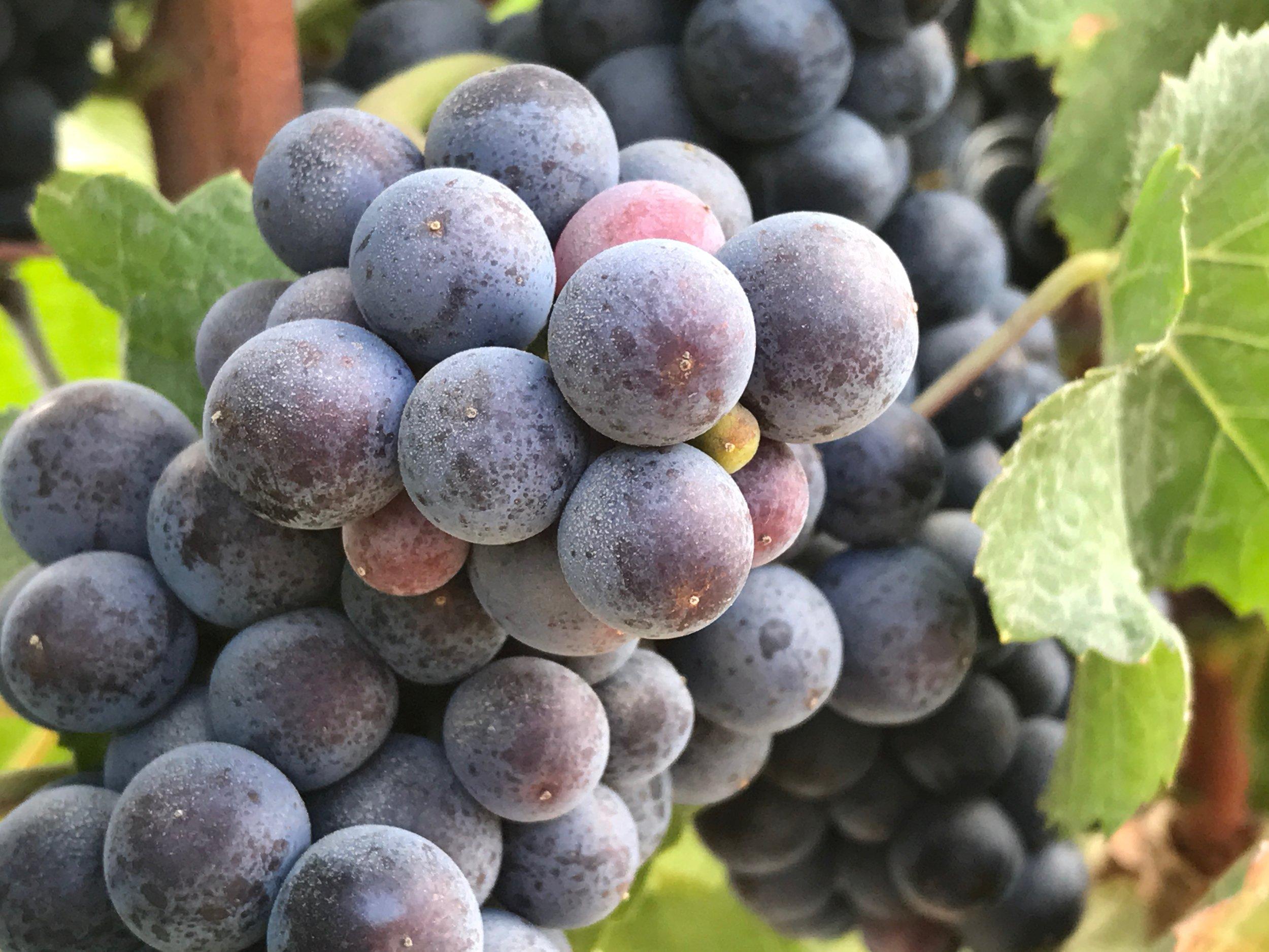 Caraccioli Escolle Vineyard Pinot Noir 03.jpeg