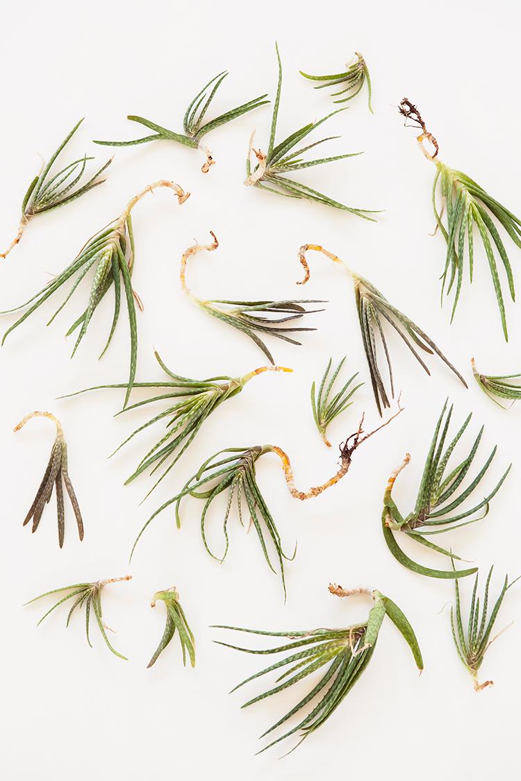 Aloe vera stekken