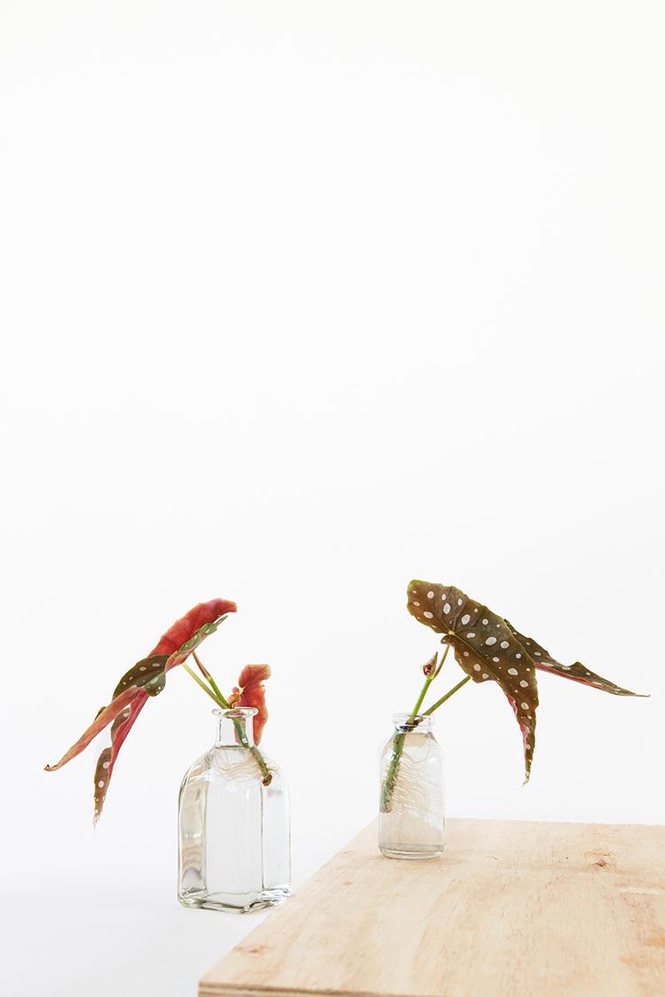 Begonia maculata stekken