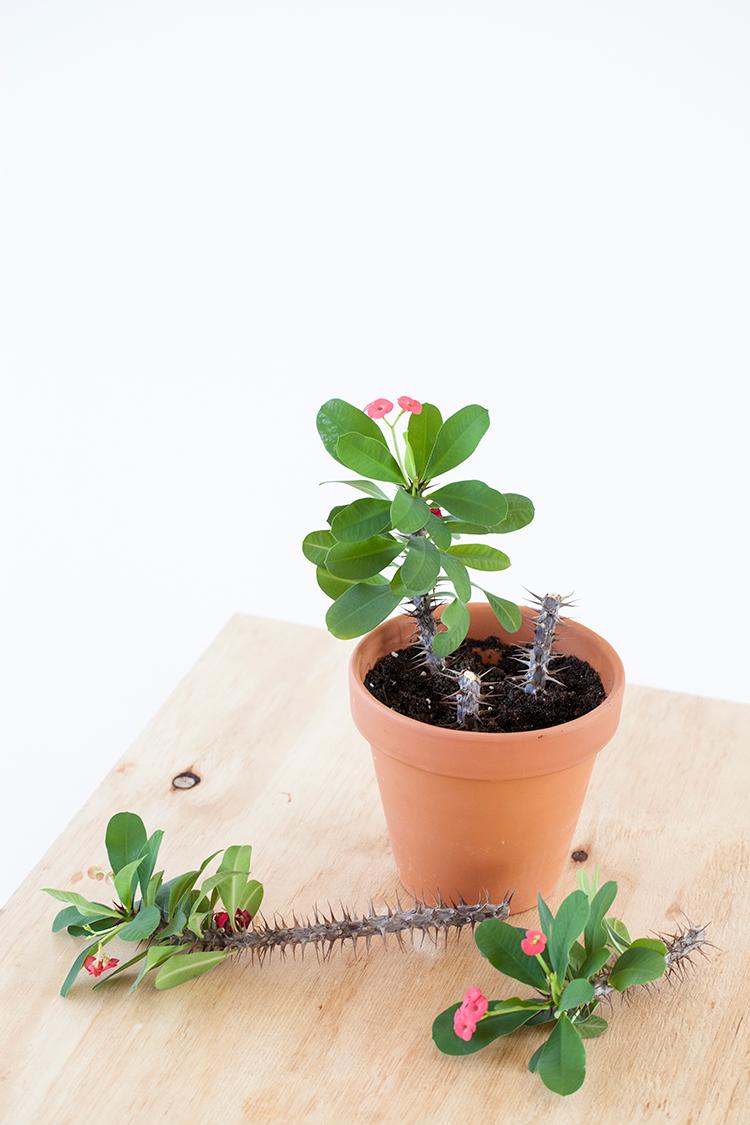 Euphorbia milii stekken