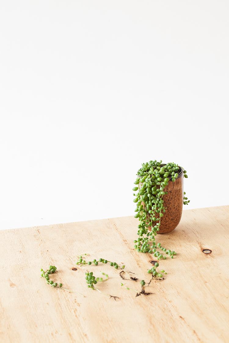 Erwtenplantje stekken