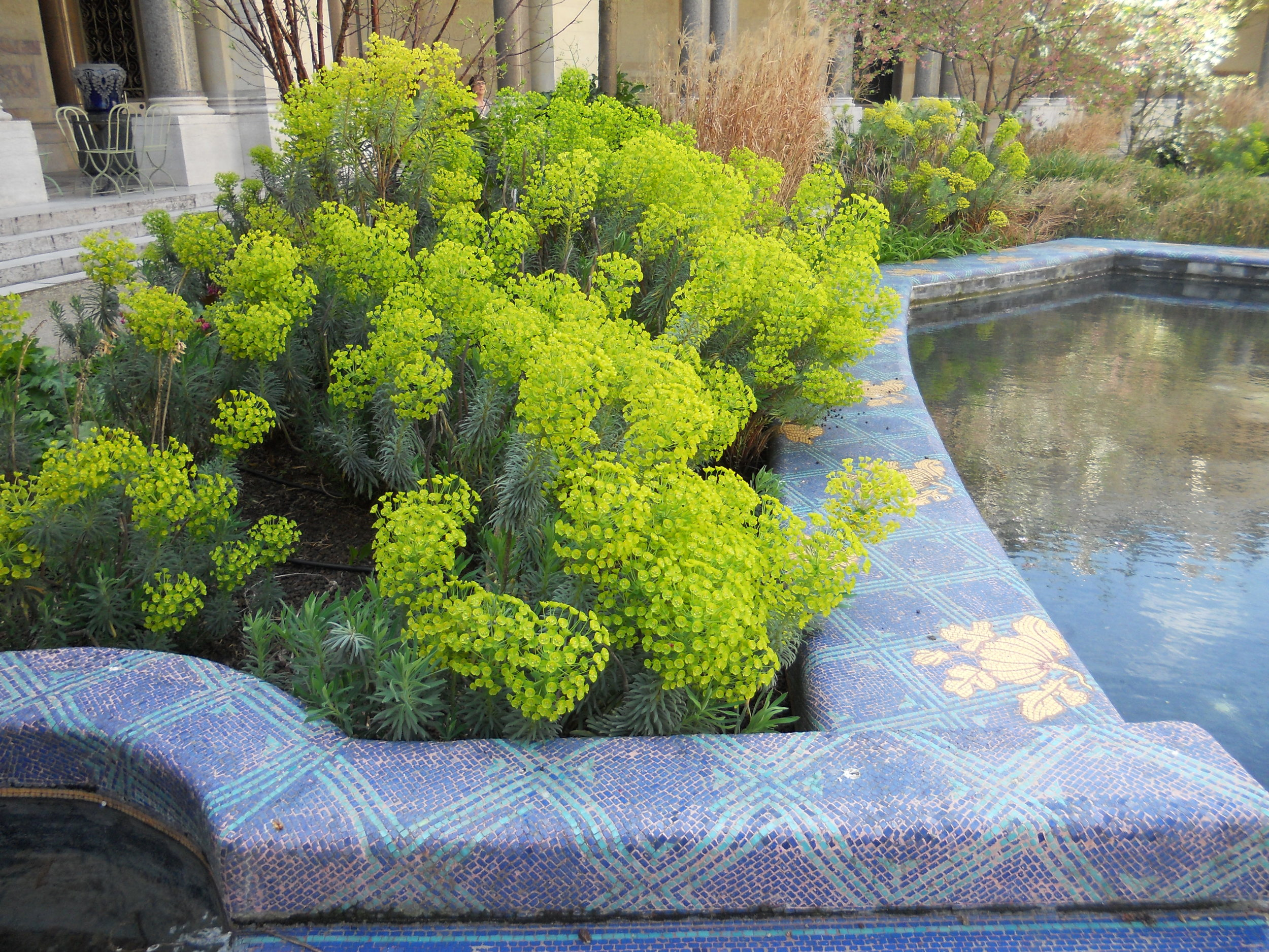 Euphorbia surrounding pool