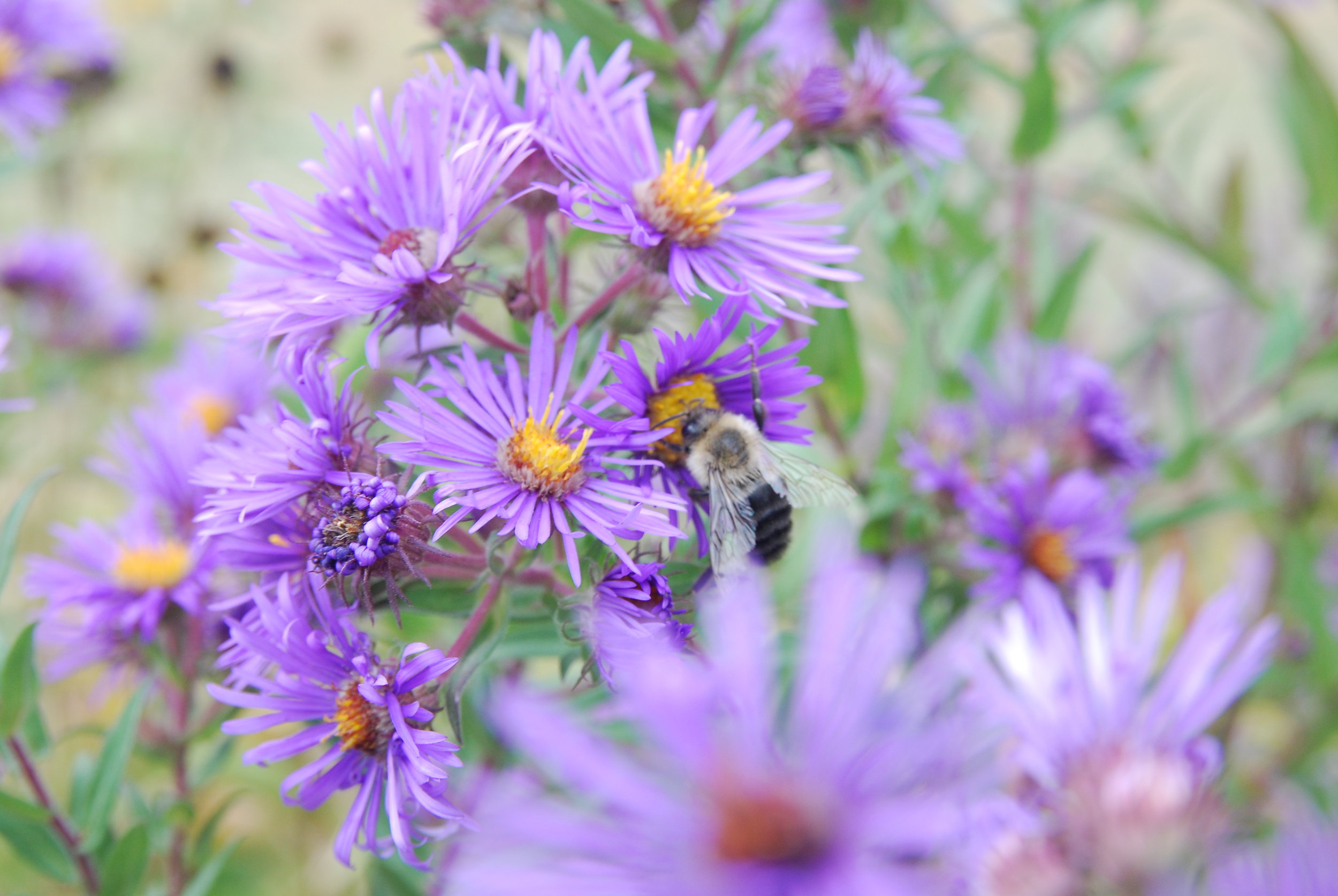Fall blooming New England aster