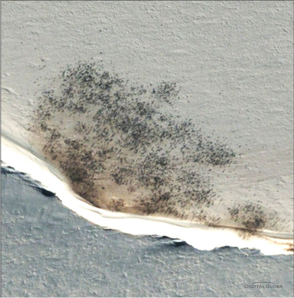 A large huddle of emperor penguins in Antartica, very visible against the white snow with high resolution satellite imagery. Source: Digital Globe.