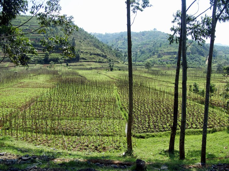 An image of a field in Rwanda showing multiple cultures in a small space.