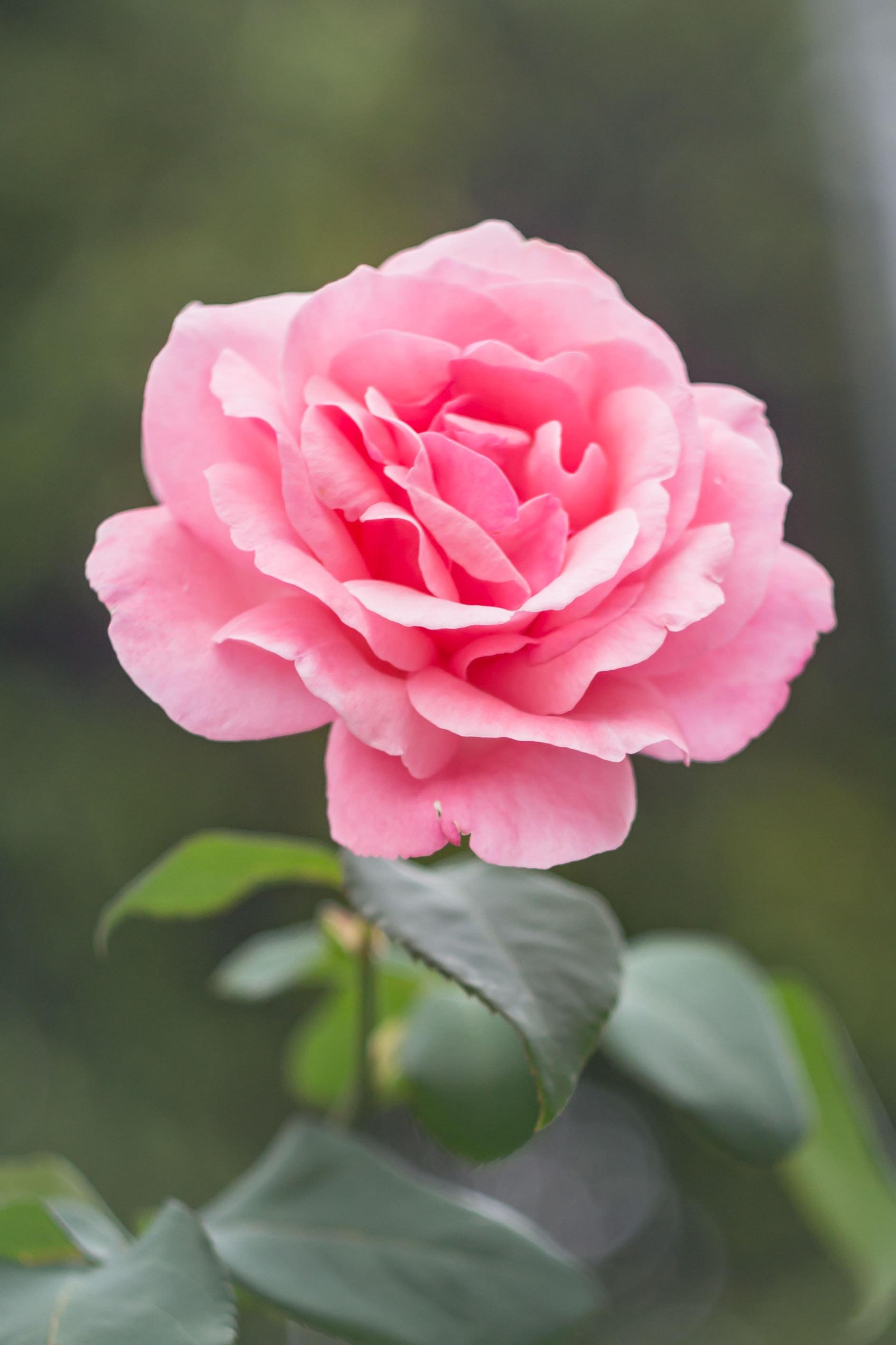 flor-flower-garden-736230.jpg